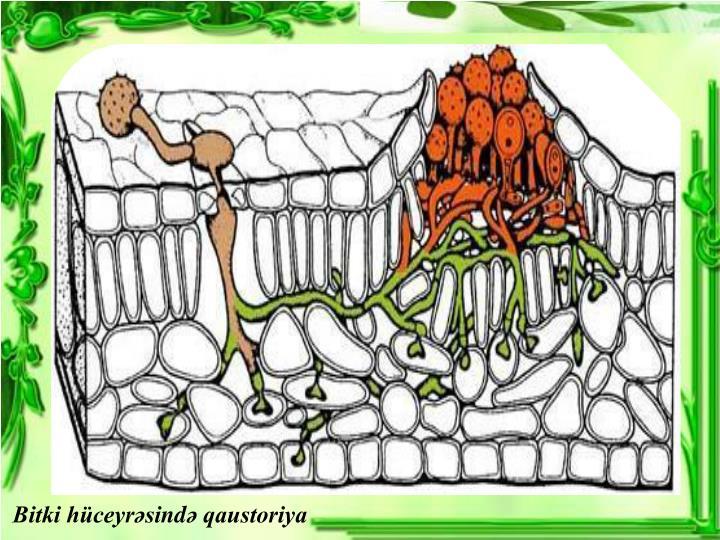 Bitki hüceyrəsi