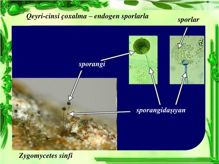Qeyri-cinsi çoxalma – endogen sporlarla