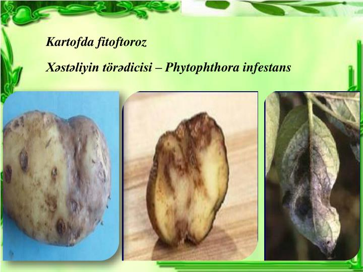 Kartofda fitoftoroz