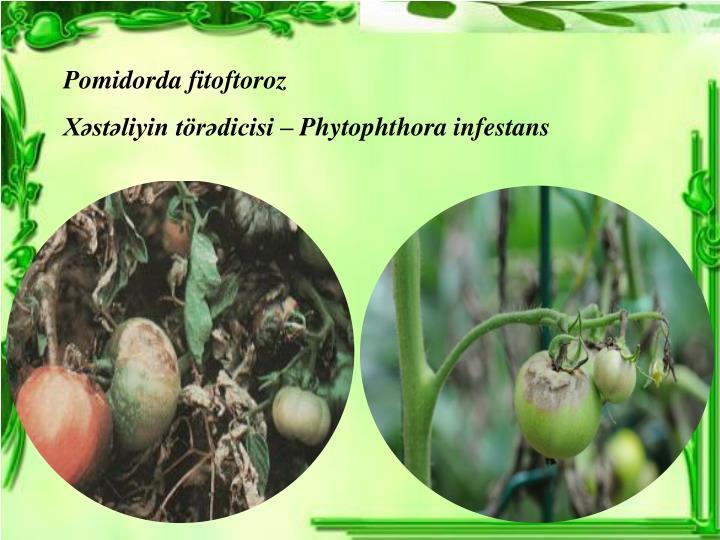 Pomidorda fitoftoroz