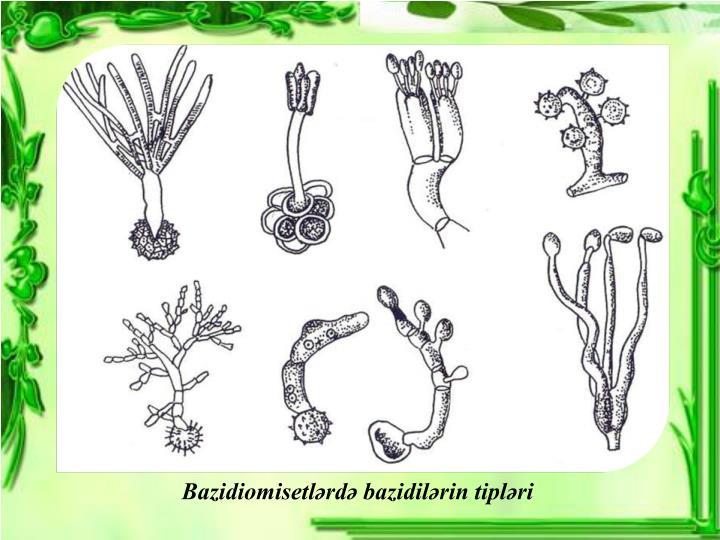 Bazidiomisetlərdə bazidilərin tipləri
