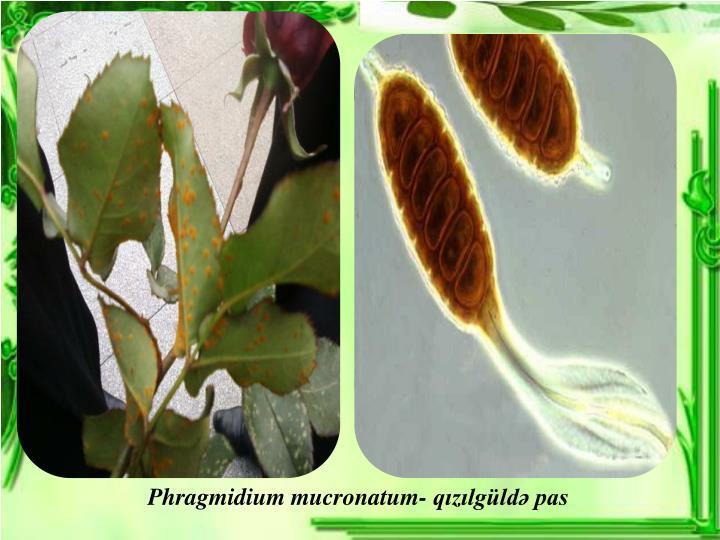 Phragmidium mucronatum