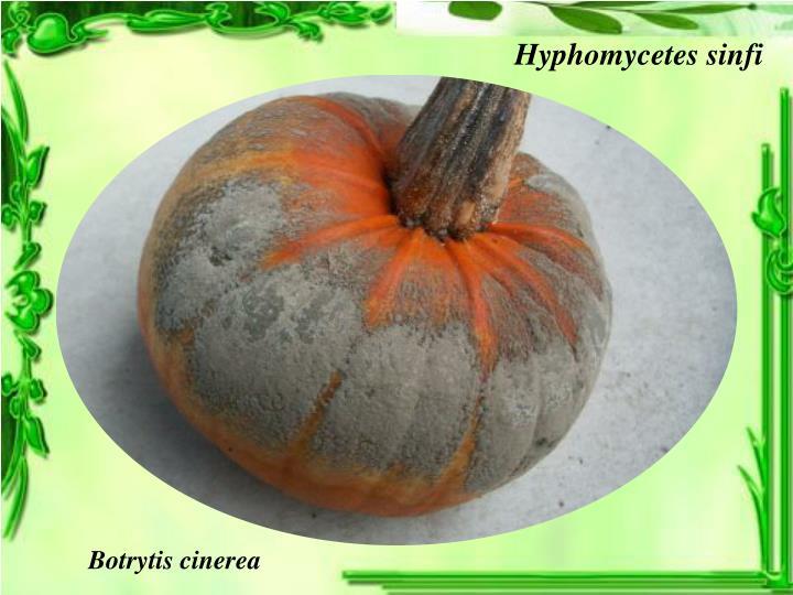 Hyphomycetes sinfi