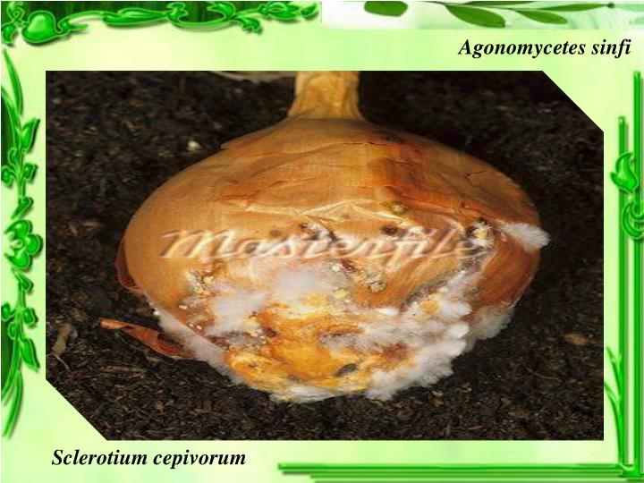 Agonomycetes