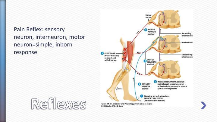 Pain Reflex: sensory neuron, interneuron, motor neuron=simple, inborn response
