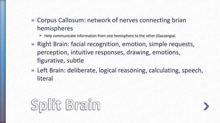 Corpus Callosum: network of nerves connecting