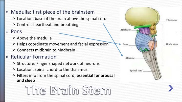 Medulla: first piece of the brainstem