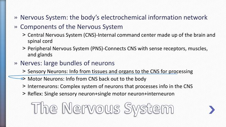 Nervous System: the body's electrochemical information network
