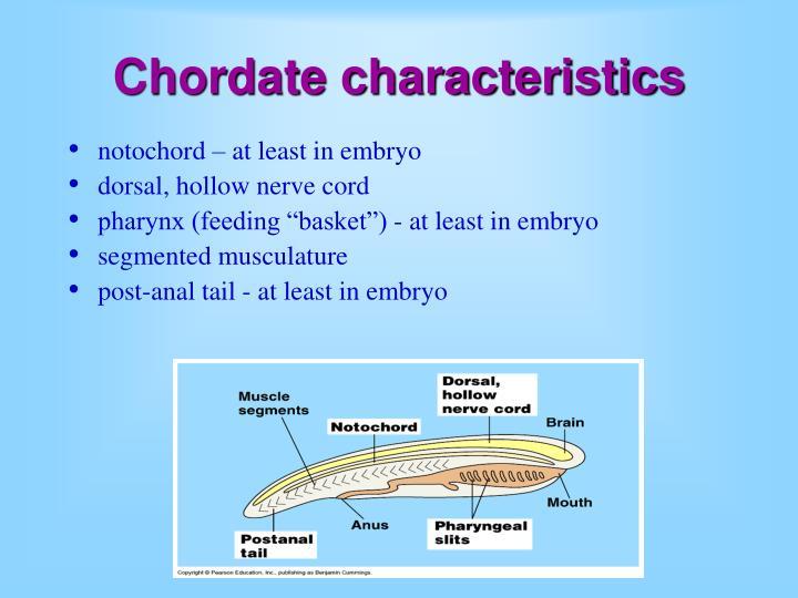 Chordate characteristics