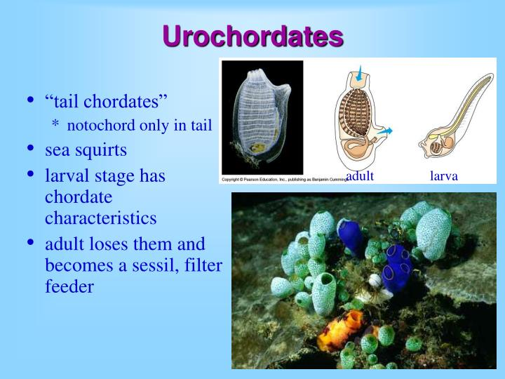 Urochordates
