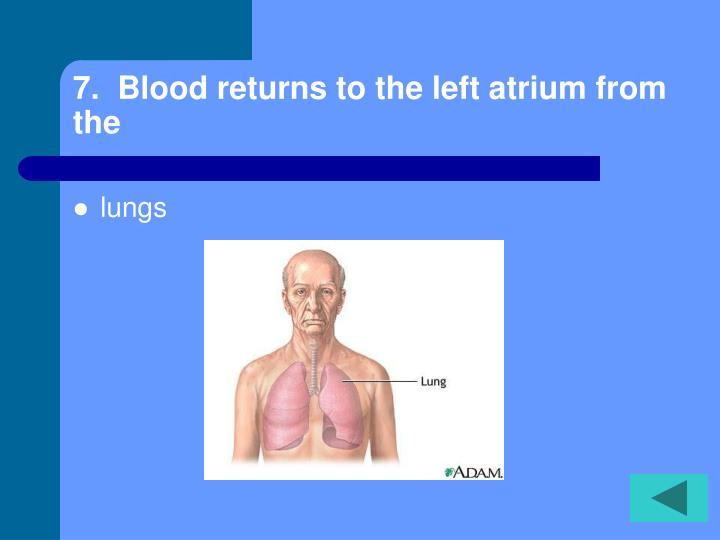 7.  Blood returns to the left atrium from the