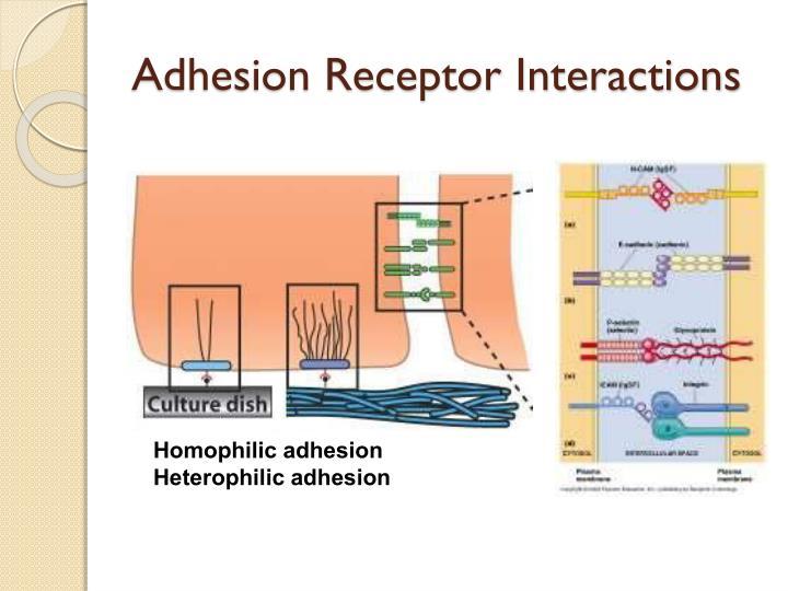 Adhesion Receptor Interactions