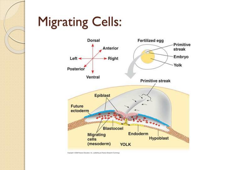 Migrating Cells: