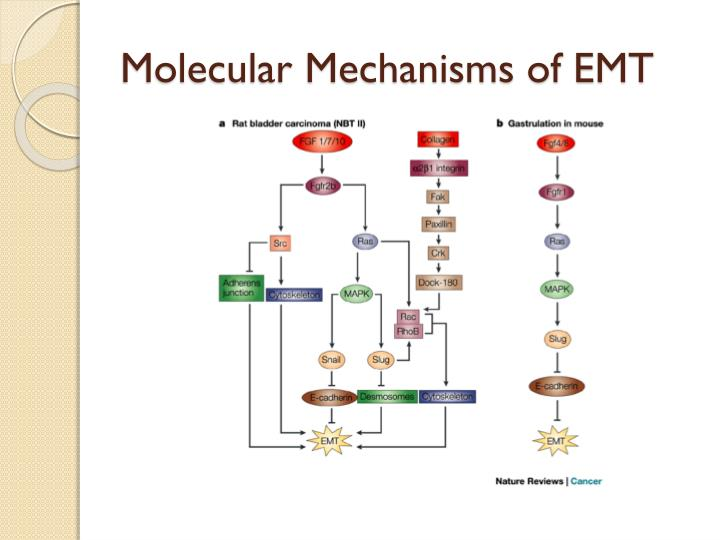 Molecular Mechanisms of EMT