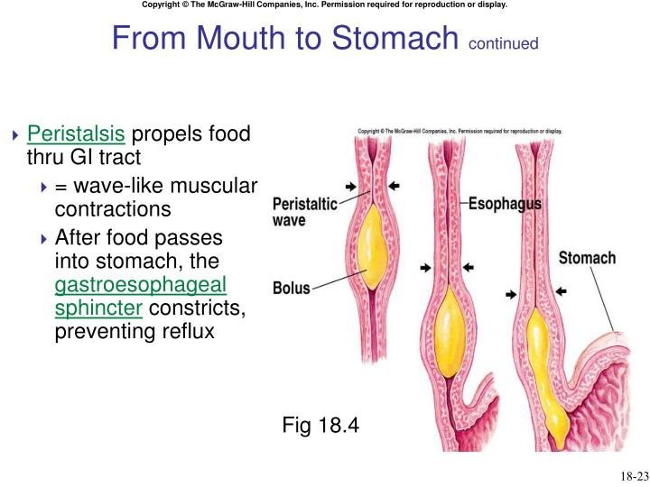 From Mouth to Stomach