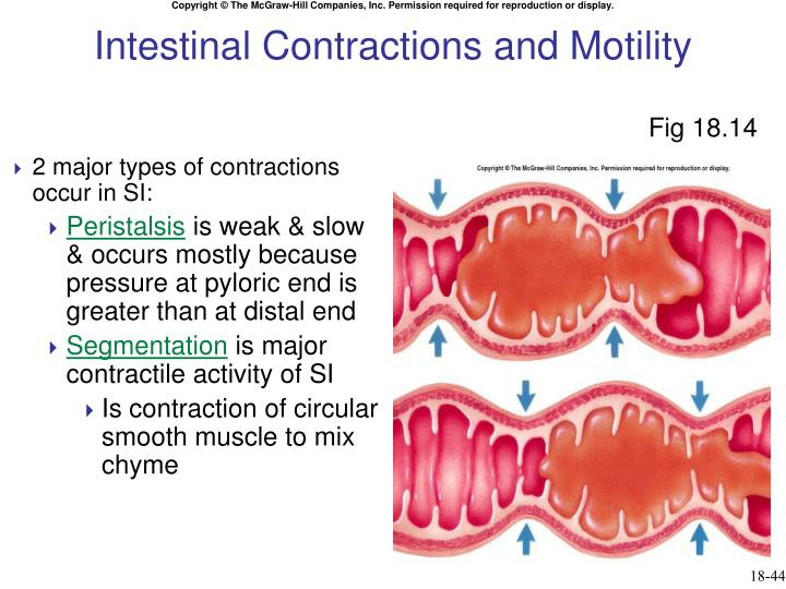 Intestinal Contractions and Motility