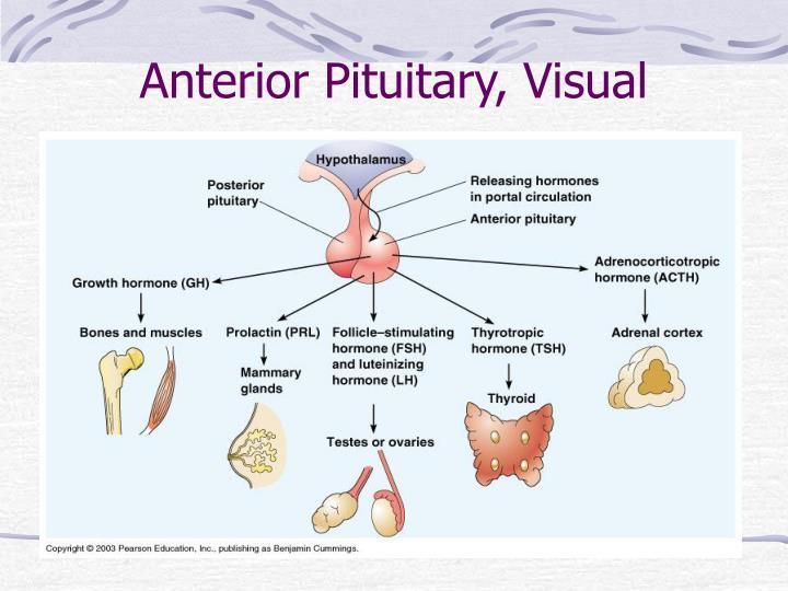 Anterior Pituitary, Visual