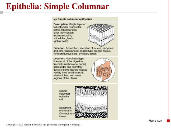 Epithelia: Simple Columnar