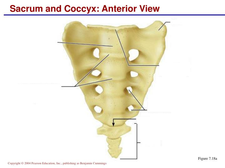 Coccyx  Definition of Coccyx by MerriamWebster