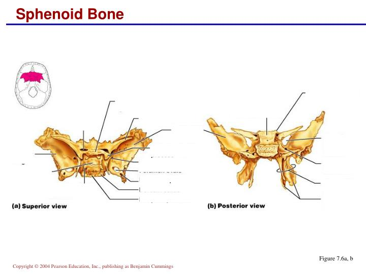 Ethmoid Bone Anterior View Unlabeled PPT - Skull: An...