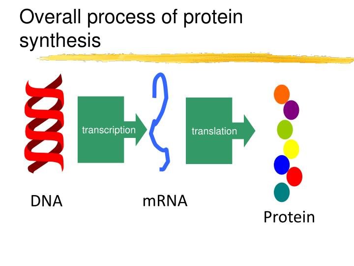 Overall process of protein synthesis