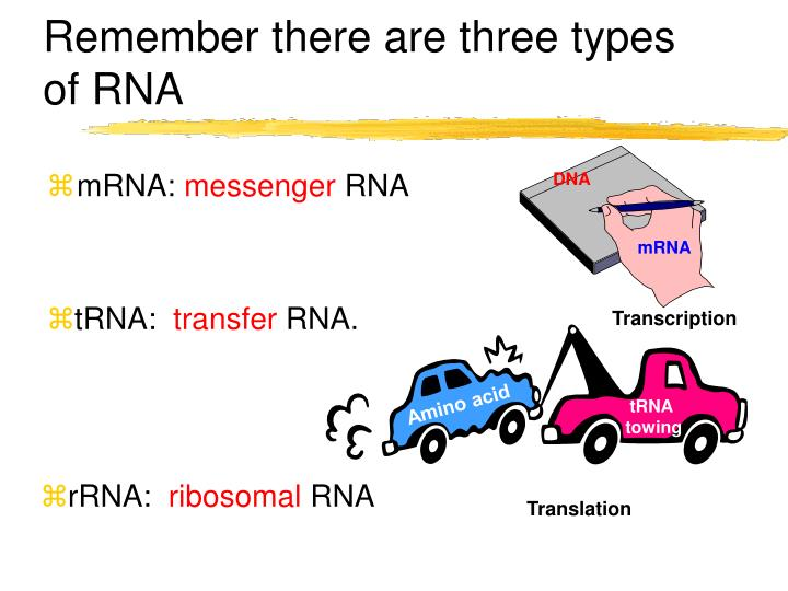Remember there are three types of RNA