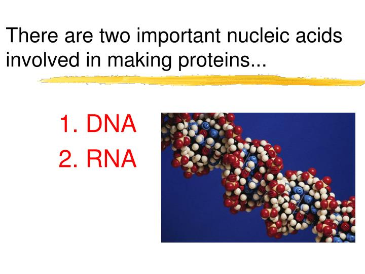 There are two important nucleic acids involved in making proteins...