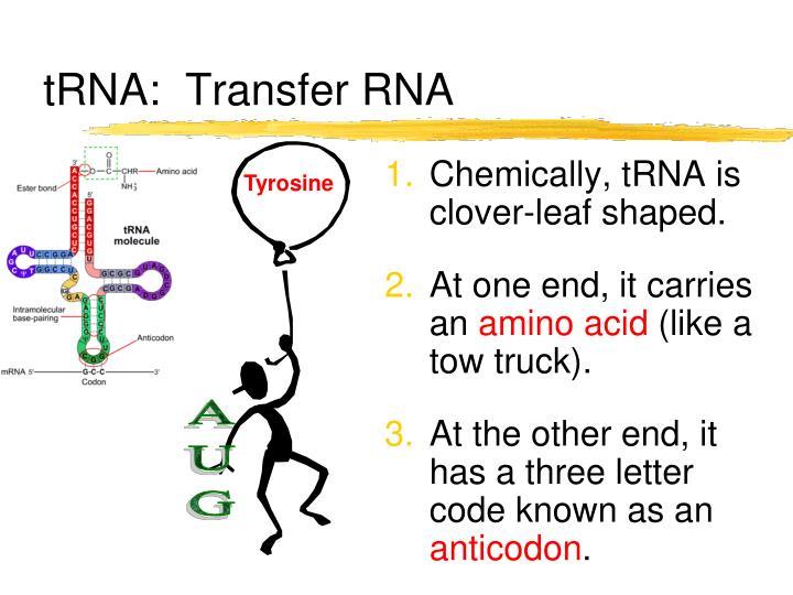 tRNA:  Transfer RNA