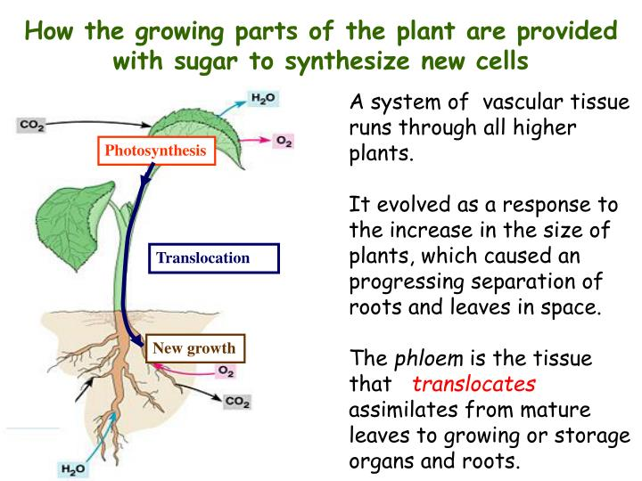 How the growing parts of the plant are provided with sugar to synthesize new cells