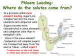 phloem loading where do the solutes come from1