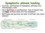 symplastic phloem loading1