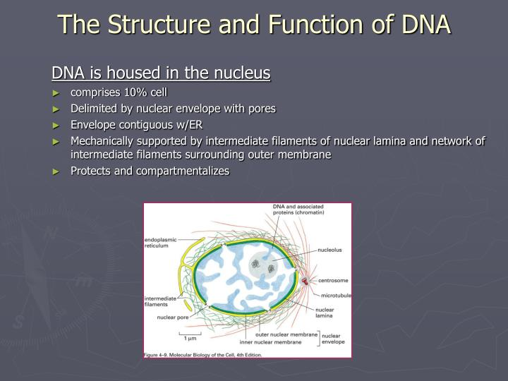 PPT - Chapter 4: DNA and Chromosomes PowerPoint ...