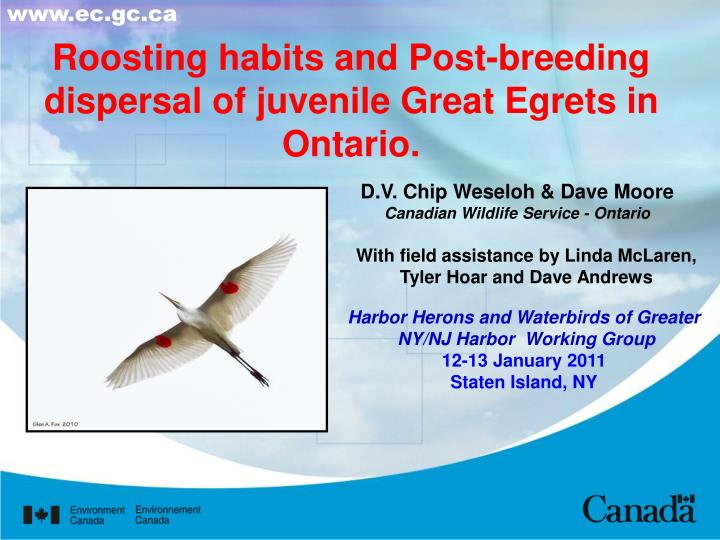 Roosting habits and post breeding dispersal of juvenile great egrets in ontario