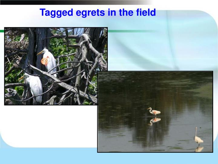 Tagged egrets in the field