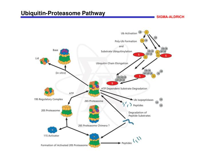 Ubiquitin-Proteasome Pathway
