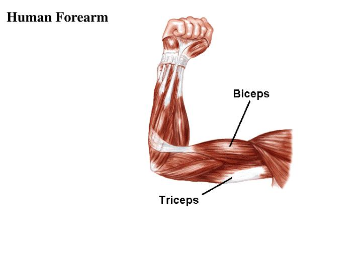 Human Forearm