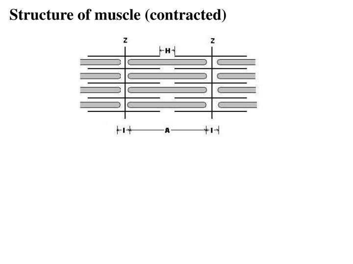 Structure of muscle (contracted)