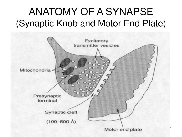 Anatomy of a synapse synaptic knob and motor end plate