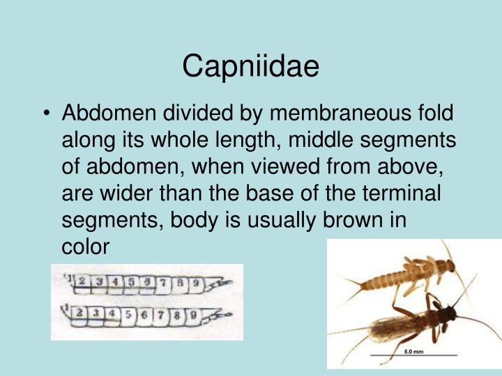 Capniidae