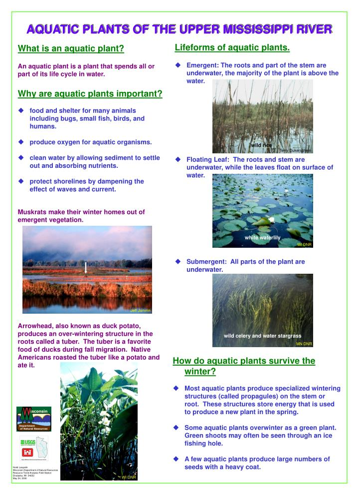 AQUATIC PLANTS OF THE UPPER MISSISSIPPI RIVER
