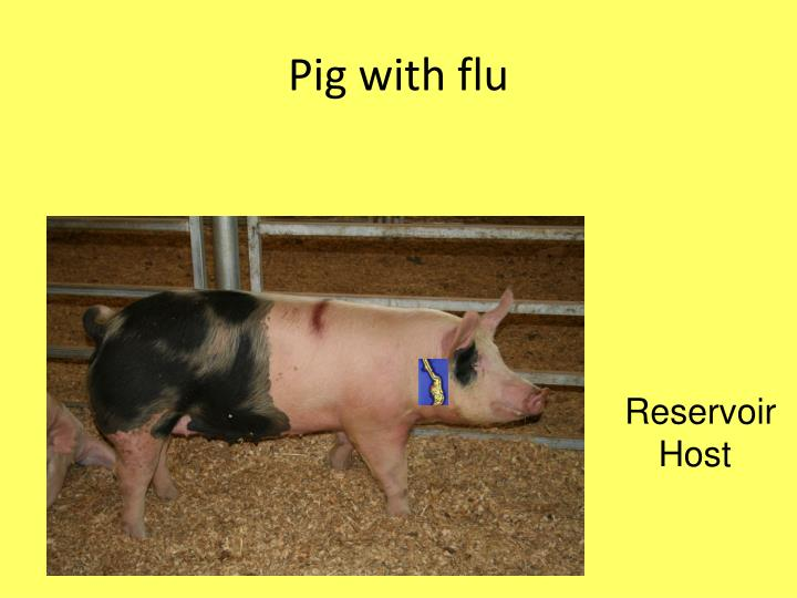 Pig with flu