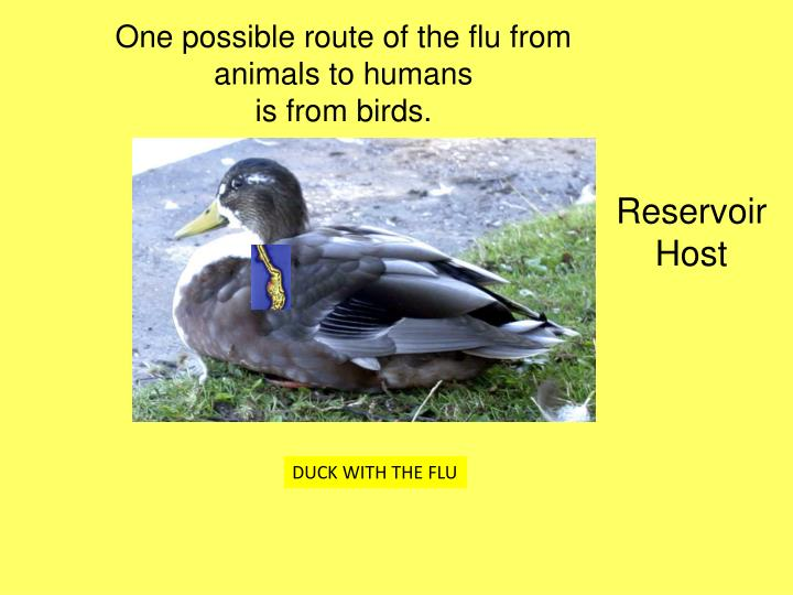 One possible route of the flu from animals to humans