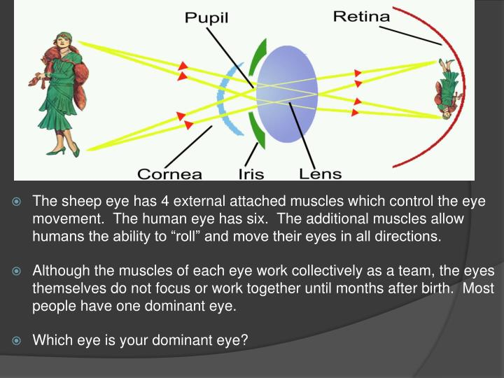 "The sheep eye has 4 external attached muscles which control the eye movement.  The human eye has six.  The additional muscles allow humans the ability to ""roll"" and move their eyes in all directions."