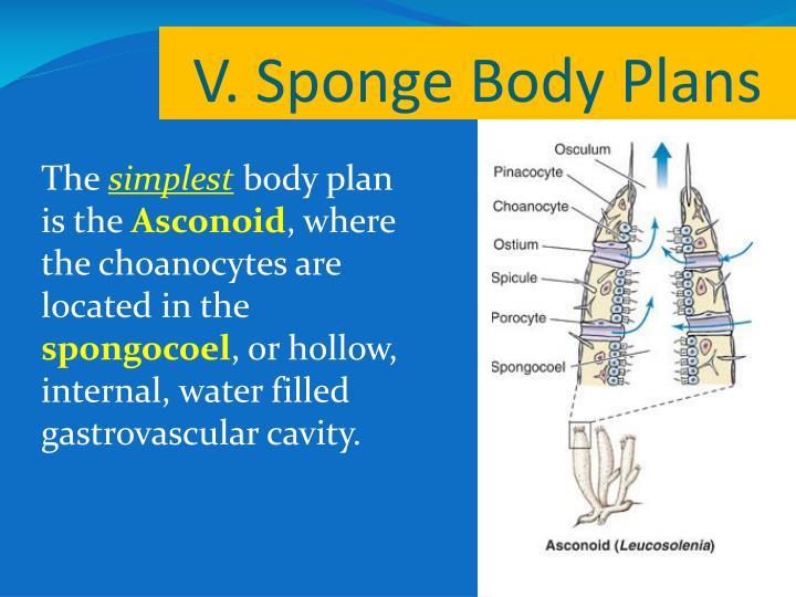 V. Sponge Body Plans