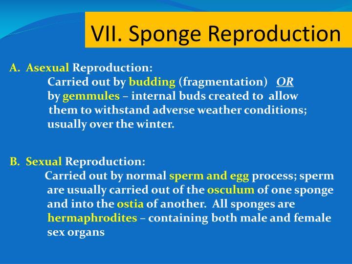 VII. Sponge Reproduction