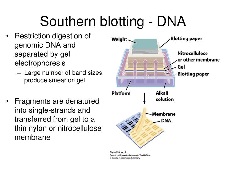 Southern blotting - DNA