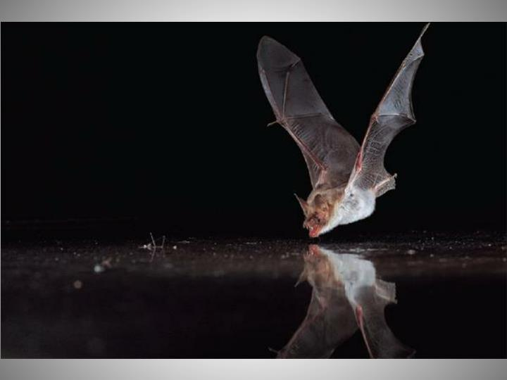 Design an experiment to test if bats actually use ultrasounds for navigation
