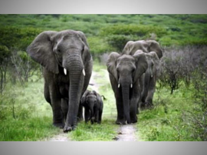 Elephants Detect Infrasounds
