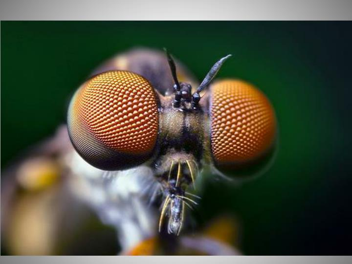 Insect Senses - Vision