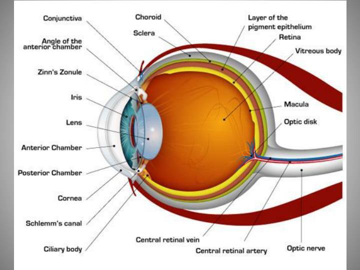 Vertebrate Eye